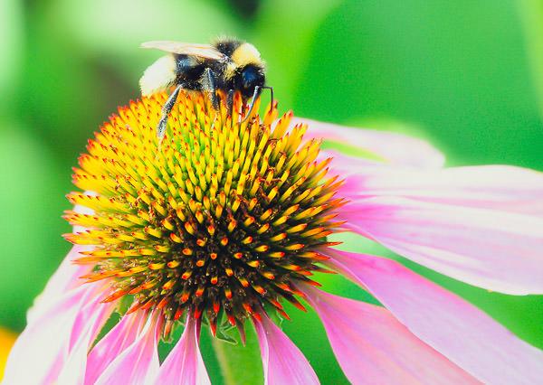 Homöopathisches Mittel | Echinacea